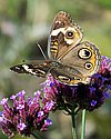 Thumbnail of a butterfly on a flower