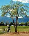 Thumbnail of tree shading a person sitting on a picnic table in a park.