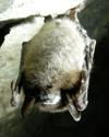 Thumbnail - Bat white-nose syndrome in National Park hibernaculum