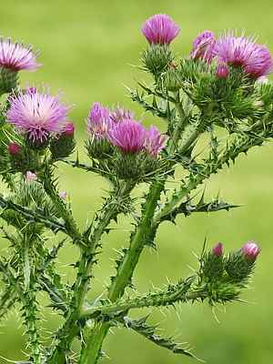 Closeup photo of purple thistle flowers showing stem and leaf spikes