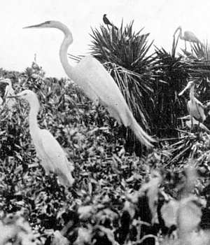 Photo of egrets and spoonbill