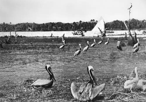 Photo of pelicans on Pelican Island with bird on nest in foreground