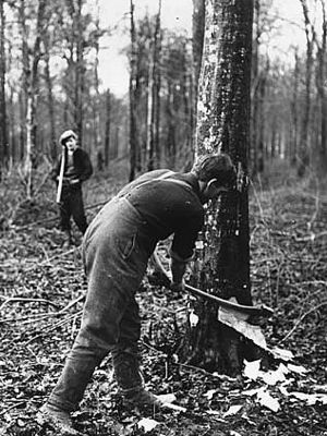 British Tommy, not a lumberjack, felling tree with axe on Western Front, World War I