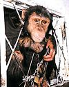 Photo of chimp, chained, with head through window bars.