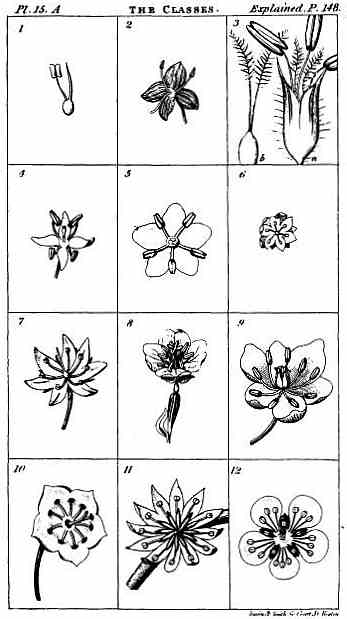 Grid of 12 drawings of various examples of flowers, illustrating their different numbers of stamens.