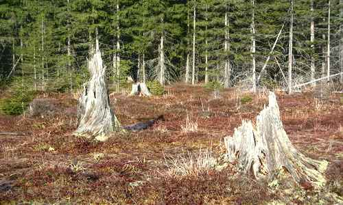 Photo of cleared land with weathered stumps remaining from logging a century ago - by Ruhrfisch CC 1.0