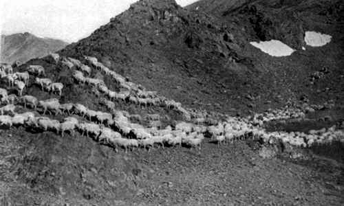 Photo of a flock of sheep grazing high in the Sierra mountains soon after snow has melted exposing green grass to feed on.