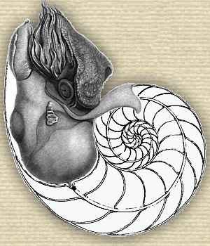 Drawing of The Pearly Nautilus (Nautilus pompilius), showing anatomical features and shell