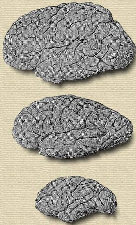 Brains of Helmholtz, a Papuan, a gorilla.