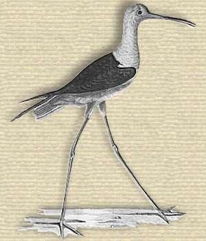 Engraving Charadrius himantopus, wading bird long legs 60% of its height, white body, long narrow beak, black wings